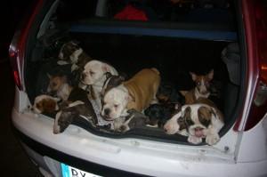 Il traffico dei cuccioli Ungheresi