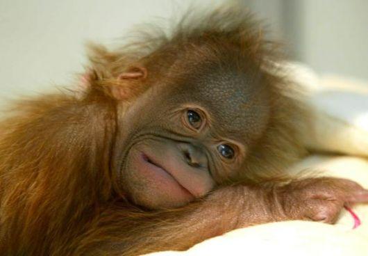 La cucciola di orango che si abbraccia da sola, perchè le manca la mamma