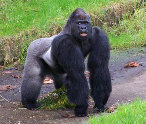 Bimbo cade nella gabbia del gorilla allo zoo, l'animale lo salva