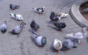 Come allotanare i colombi dal vostro balcone senza arrecare loro ...