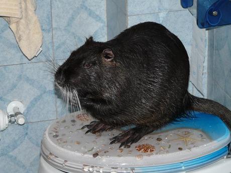 La nutria sa farsi il bagno da sola, la star del web