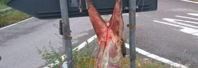 Tortura crudele ad un lupo, scuoiato e appeso per le zampe