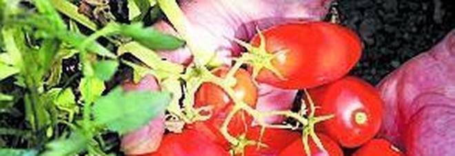 Pomodori San. Marzano anticancro naturale, nuovi studi
