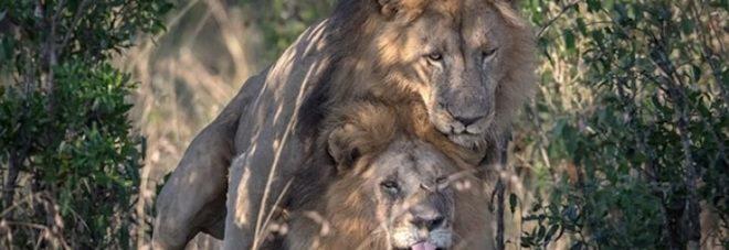Curiosità, anche i leoni sono gay, uno scatto fotografato da un inglese