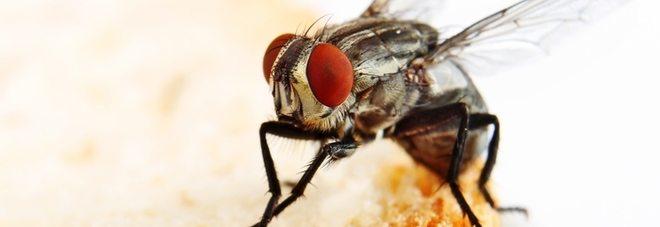 Le mosche trasportano 300 tipi di batteri sulle loro zampe, anche pericolosi per l'uomo