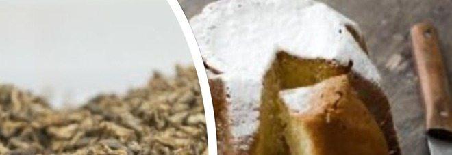 Nasce il primo pandoro in Italia realizzato con gli insetti nell'impasto.