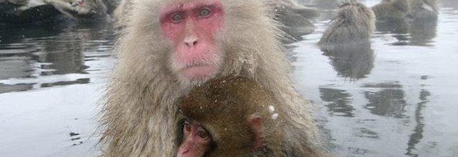 Test shock sulle scimmie con gas di scarico, colossi dell'auto tedesca sotto accusa.