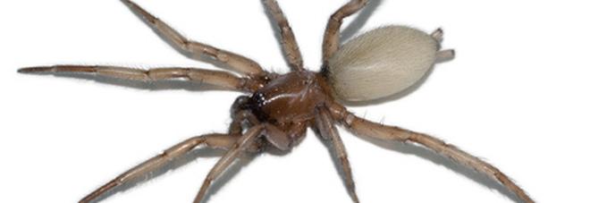 Il ragno violino è presente in Italia, è velenoso, come riconoscerlo.