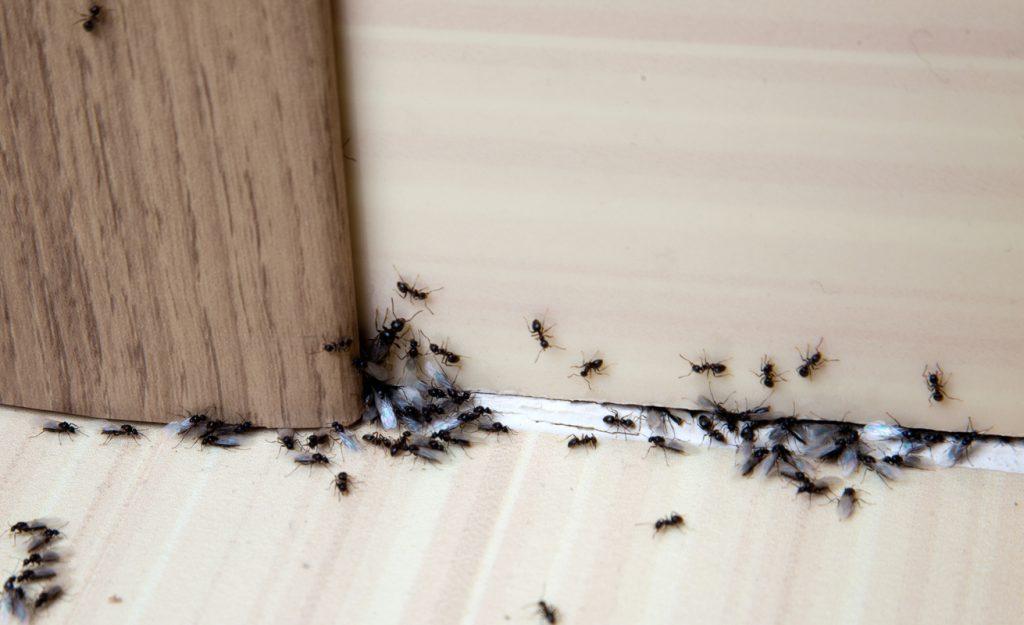 Ho scoperto metodo infallibile per fare stare lontane le formiche senza insetticidi dannosi
