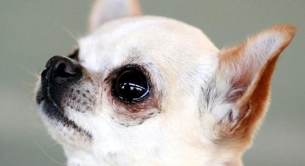 Chihuahua abbaia durante il furto, i ladri lo uccidono affogandolo nel water-LEGGO➥